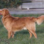 Nova-Scotia-Duck-Tolling-Retriever-red-pepper-toller-joy